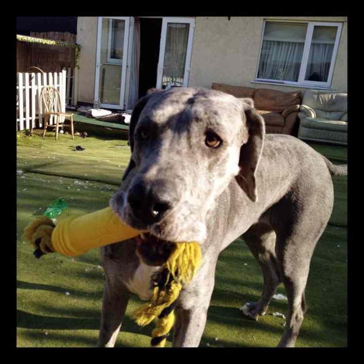<p>Hayatını kaybeden köpek, dört ayağı üzerinde durduğunda 103,5 santimetre, arka ayakları üzerinde durduğunda ise 226 santimetre boyundaydı.</p>