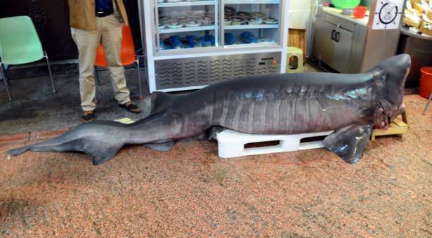 <p>Çanakkale'de yakalanan 700 kilo ağırlığındaki köpek balığı görenleri korkuttu.</p>