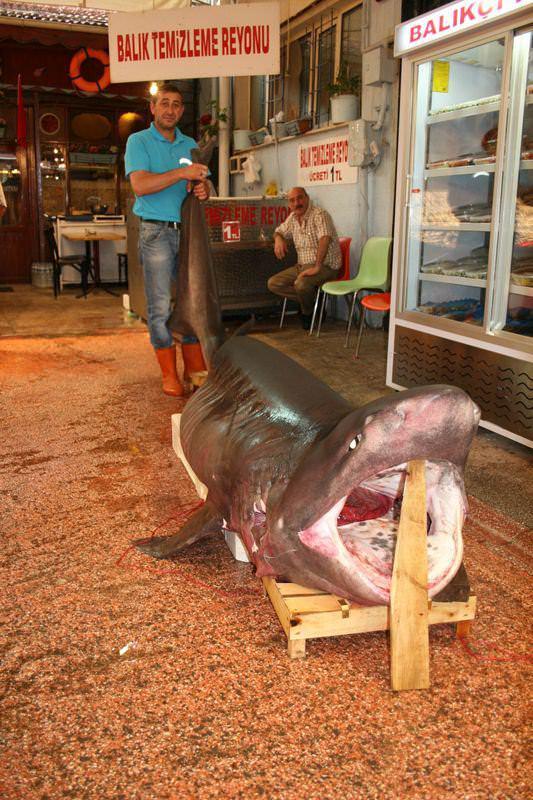 <p>Çanakkale açıklarında balıkçıların ağlarına takılan 3,63 metre uzunluğunda ve 700 kilo ağırlığındaki köpek balığı, Bursa'da bir balık markette sergilendi.</p>  <p></p>