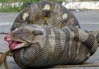 2 metre boyundaki timsahı yutamadı