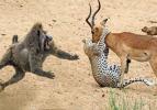 Vahşi doğada az rastlanan olaylar!