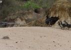 Piton ördeklere böyle saldırdı