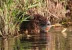 İstilacı tür 'esrarengiz fareler' doğa dostu çıktı