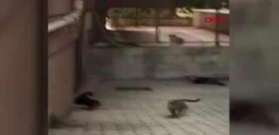 Fare kendisini kenara sıkıştırmaya çalışan 5 kediye kafa tuttu