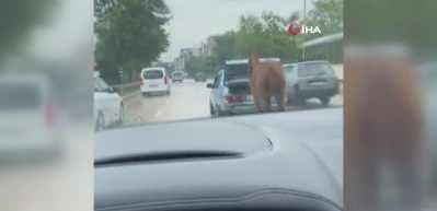 Bursa'da akılalmaz olay! Aracın arkasına atı bağlayıp böyle koşturdu