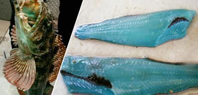 Dünyanın en nadir balıklarından biri olan Lingcod turkuaz rengiyle hayran bıraktı!