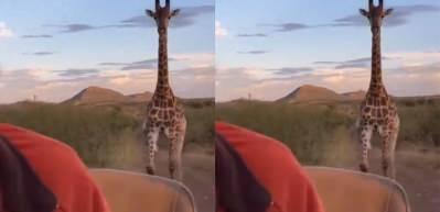Aksiyon filmlerinden bir sahne gibi! Belgesel ekibini kovalayan zürafa...