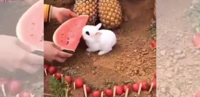 Sevimli tavşanın karpuz yiyişi izleyenlere tebessüm ettirdi