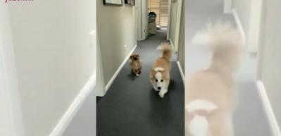 Bodur arkadaşını taklit eden köpeğin muzip halleri beğeni topladı