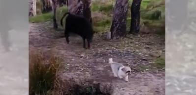 Küçük köpek takip ediliyordu, dönüp öyle bir korkuttu ki...