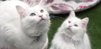 Helsinki Üniversitesi Van kedisini en saldırgan tür seçti