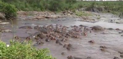 30 su aygırına saldıran timsah canını zor kurtardı!