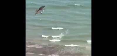 Balık Kartalı köpek balığını böyle avladı!