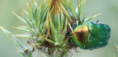 Altın böcekleri böyle görüntülendi