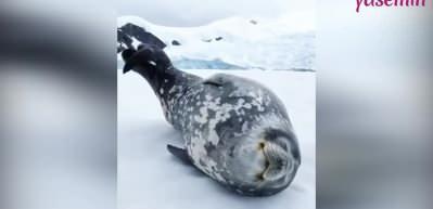 Antartika Foku'nun çıkardığı ses duyanları şaşırttı!