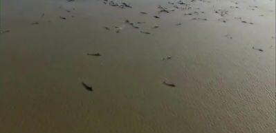 Avustralya'da zamana karşı kurtarma çabası: Tasmanya'da karaya vuran 270 balinadan 90'ı öldü