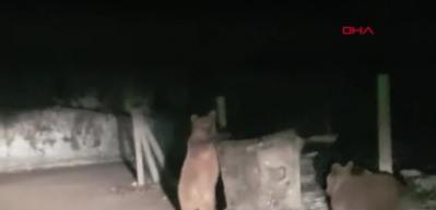 Sarıkamış'ta çöpten kedi çıkmaz ayı çıkar