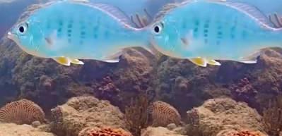Başını sabit tutabilen altın yüzgeçli mojarra balığı!