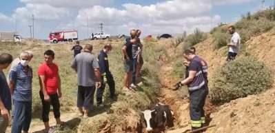 Bataklığa saplanan inek iş makinesiyle böyle kurtarıldı