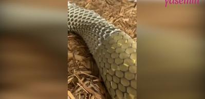Bir yılanın deri değiştirme anı yakından görüntülendi!