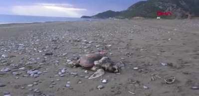 Caretta caretta ölüsü, 3 gündür sahilden kaldırılmayı bekliyor