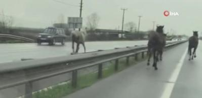 Çiftlikten kaçan atlar D-100 karayolunda dört nala koştu
