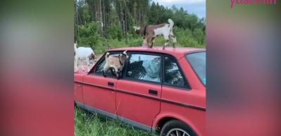 Dağ keçileri terk edilmiş araçla tırmanma becerilerini geliştirdi!