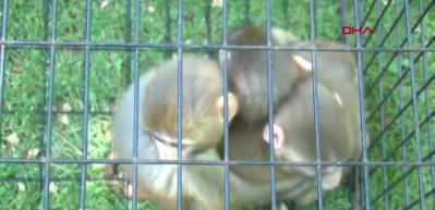 Down sendromlu yavru maymun, kardeşlerinden ayrılamıyor
