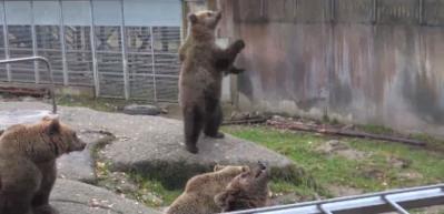 Drone gören ayıların şaşkınlığı
