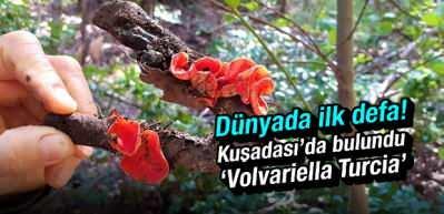 Dünyada ilk defa kuşadası'nda bulundu! 'Volvariella Turcica'
