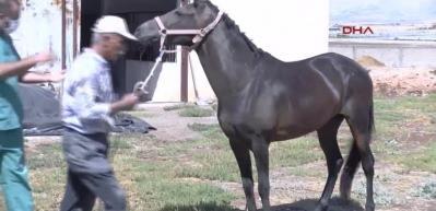 Dünyada ilk kez Türkiye yaptı... Atlar, virüse karşı antikor üretiyor