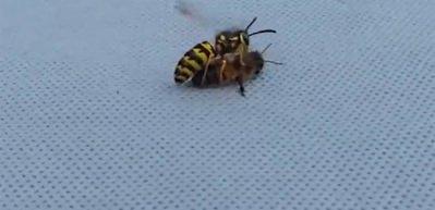Eşek arısı bal arısını ortadan ikiye ayırdı!