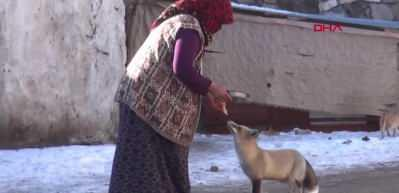 Evinin önüne gelen 'Yonca' ismini verdiği tilkiyi 4 aydır besliyor