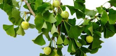 Gingko biloba bitkisinin faydaları