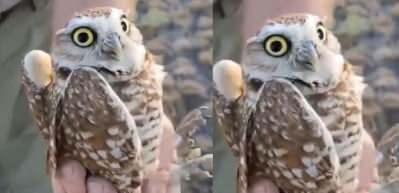 Göz temasını kaybetmemek için başını 270 derece döndüren baykuş!