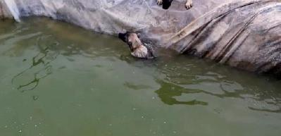 Havuza düşen köpek için kardeşi böyle çabaladı