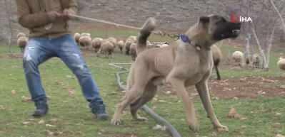 İnsan boyunda çoban köpekleriyle çiftlik kurdu
