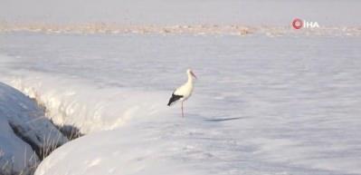 Kar yağışı ve olumsuz havaya rağmen ovayı terk etmeyen leylek şaşırttı