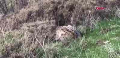 Karakoçan'da avını yiyen vaşak görüntülendi