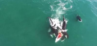 Katil balinalar başka bir balinayı böyle öldürdü