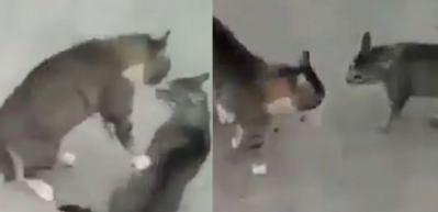 Kavga eden kedileri ilginç bir yöntemle ayıran adam!