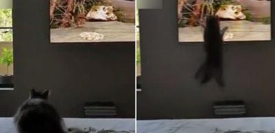 Kedi, TV'deki kuşu gerçek sanarsa...