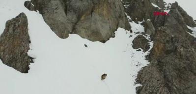 Kış uykusundan uyanan boz ayılar havadan görüntülendi