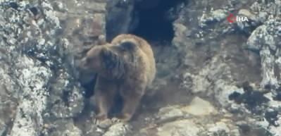 Kış uykusundan uyanan ayılar böyle görüntülendi