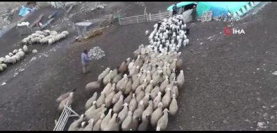 Koyunların kuzularla buluşma anı