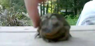 Kurbağa kendinden geçti