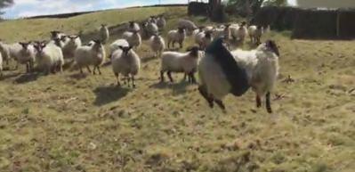 Meraklı koyun lastik salıncağa sıkışınca...