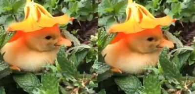 Nane kokusunun ferahlatıcı etkisiyle uyuya kalan ördek!
