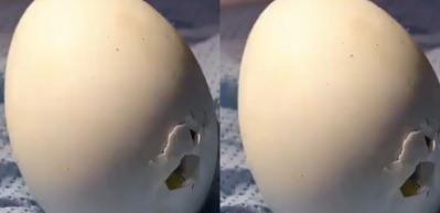 Ördek yavrusunun yumurtadan çıktığı o ilk anlar!