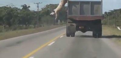 Özgürlük için ölümü göze alan domuz